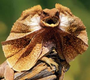 frilled lizard, public domain