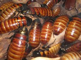 Madagascar hissing cockroaches, wikimedia commons