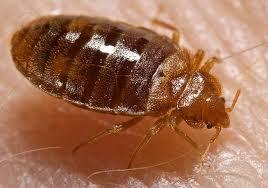 bed bug, wikimedia commons