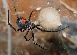 black widow spider, wikipedia