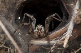 brown recluse spider, wikimedia commons