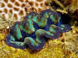 crocea clam, reefcorner.com