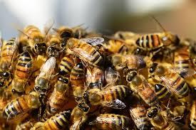 honey bees, pixabay.com