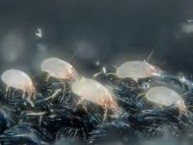 house dust mites, wikimedia commons