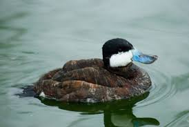 brown duck with blue bill, wikipedia
