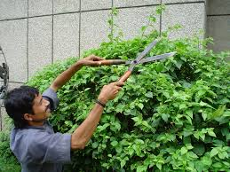 clipping hedges, wikipedia