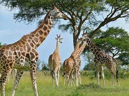a corps of giraffes, flickr