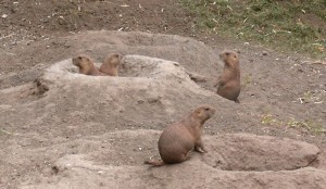 a coterie of prairie dogs, wikipedia