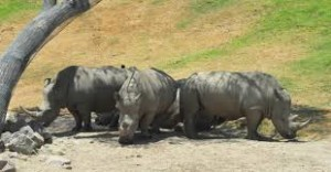 a crash of rhinoceroses, flickr