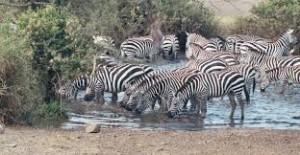 a dazzle of zebras, wikipedia