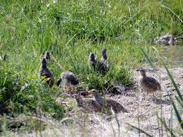 a covey of quail, flickr