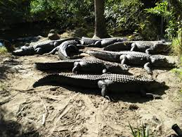 congregation of alligators, wikimedia commons