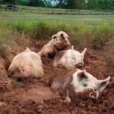domestic pigs, wikipedia