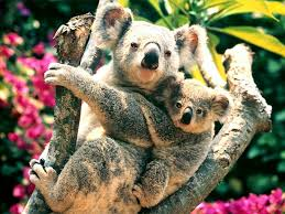 a cling of koalas, wikimedia commons