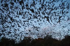 a cloud of bats, flickr