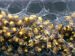 a cluster of spiders, wikipedia