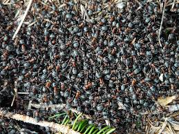a colony of ants, pixabay