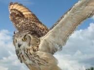 Indian eagle-owl, wikipedia