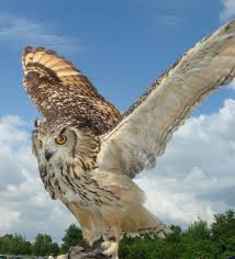 Indian eagle-owl, wikipedia