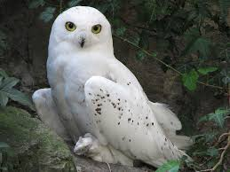 snowy owl, wikimedia commons