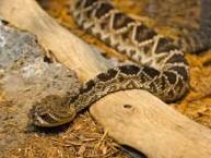 Eastern Diamondback rattlesnake, wikimedia commons