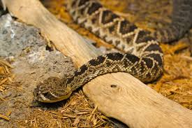 Eastern Diamondback rattlesnake, wikimedia commons