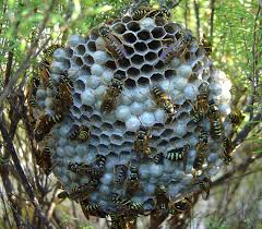 nest of the yellow paper wasp, wikipedia