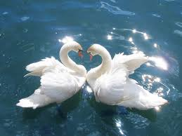 pair of swans, wikipedia