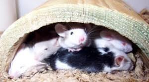 pet mice, wikipedia