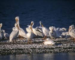 white pelicans, public domain