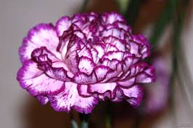 carnation, www.torange.us