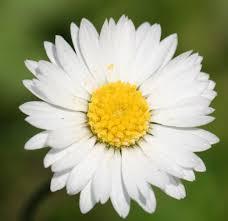 daisy, wikipedia