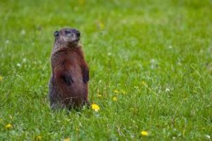 groundhog, public domain