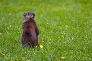 groundhog, public domain