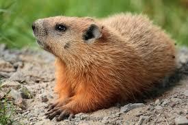 groundhog, wikipedia