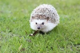 hedgehog, pixabay