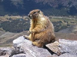 marmot, wikipedia