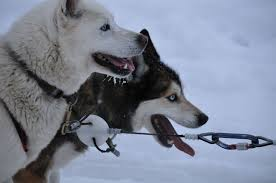 sled dogs, flickr