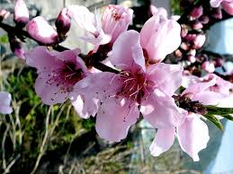 peach blossoms, flickr