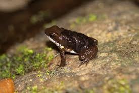 Panama Poison Dart Frog with tadpoles on back, wikimedia commons