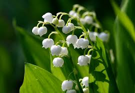 lily of the valley, flickr