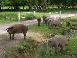 Pigs on Harley Lane, www.geograph.org.uk