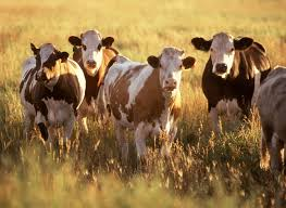 cows, www.freestockphotos.biz