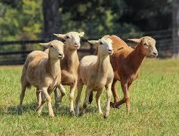 goats, pixabay