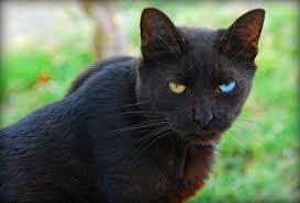 black cat, wikimedia commons