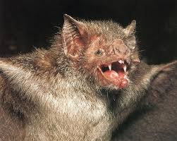 vampire bat, flickr